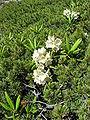 Rhododendron aureum 01.jpg