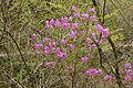 Rhododendron dilatatum 06.jpg