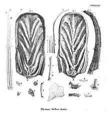 There are two large, oval-shaped plates with a ridge running down the middle, and grooves running diagonally from either side of the ridge. There are many bristles of varying sizes and widths, but all are stiff at the base and taper out at the end. There are several small rectangular teeth with numerous holes in them.