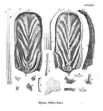 Steller's sea cow - Image: Rhytinae Stelleri dentes