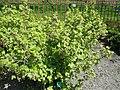 Ribes nigrum - Copenhagen Botanical Garden - DSC08055.JPG