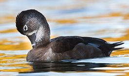 Ring-necked Duck1.jpg