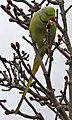 Ring Necked Parakeet (Psittacula krameri) - geograph.org.uk - 1174059.jpg