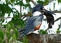 Ringed Kingfisher (Ceryle torquata) with big Cichlidae ... (28472371011).jpg