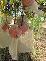 Rishpon, Shefa Farm, pomegranate insect protections.JPG