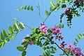 Robinia pseudoacacia Purple Robe 3zz.jpg