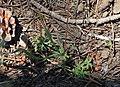 Rock star Lithophragma glabrum leaves bulbils.jpg