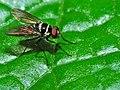 Root Maggot Fly (Anthomyia sp.) (17780699049).jpg