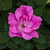 Rosa 'Pink Knock Out' (actm) 02.jpg