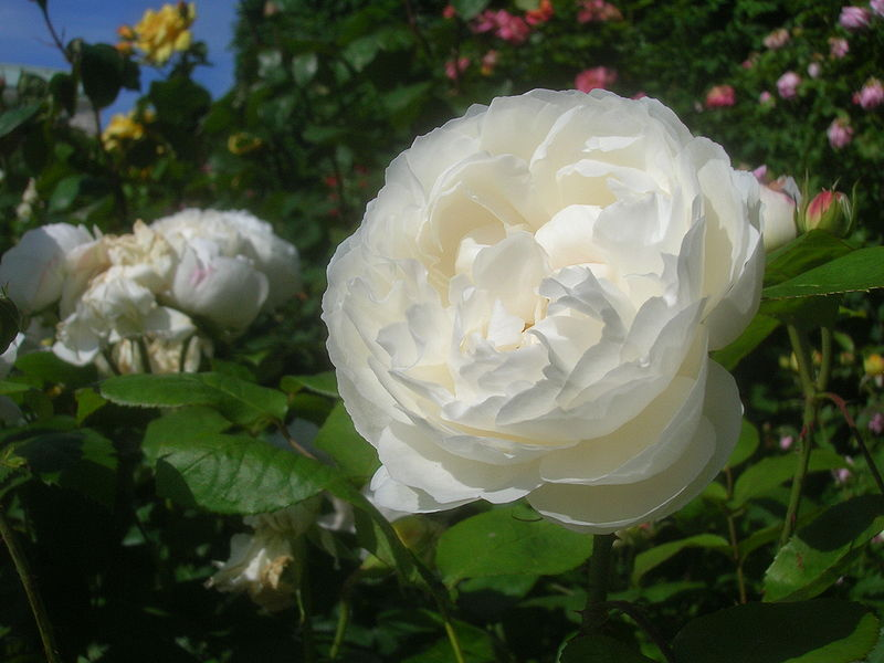 File:Rosa 'Winchester Cathedral'.JPG