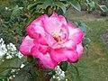 Rosa Handel 2018-07-10 5963.jpg