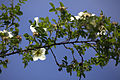 Rosa pimpinellifolia var. altaica 05.jpg