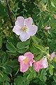 Rosa villosa kz01.jpg