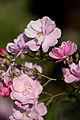 Rose, Lavender Dream - Flickr - nekonomania.jpg