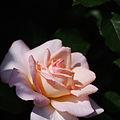 Rose, PEAdesire,バラ,PEAdesire, (15234407586).jpg