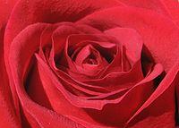 Rose Macro.jpg