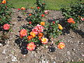 Roses in The Arno, Oxton - IMG 0903.JPG