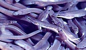 Junge Amerikanische Aale (Anguilla rostrata)