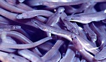 Juvenile american eels (Anguilla rostrata).