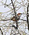 Rufous-eared Warbler (Malcorus pectoralis) (32215196613).jpg