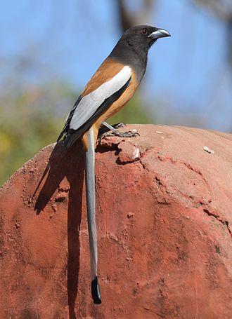 Rufous treepie - Rufous treepie, Ranthambore National Park, India