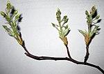 Ruhland, Grenzstr. 3, Kupfer-Felsenbirne., Zweigspitze mit Blütenknospen, Frühling, 02.jpg