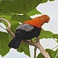 Rupicola peruviana 1.jpg