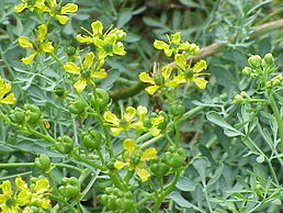 Common Rue in flower