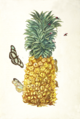Rype ananas Maria Sibylla Merian 1705 plate II.png