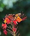 SABot Monarch 3 (6196361998).jpg