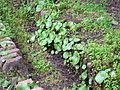 SSI- Plantas de tierra húmeda (23761643981).jpg