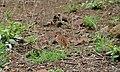 Sabota Lark (Calendulauda sabota) (6014365351).jpg