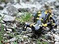 Salamandra salamandra 21.jpg