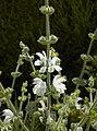 Salvia argentea C.jpg
