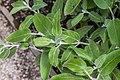 Salvia discolor in Jardin des 5 sens.jpg