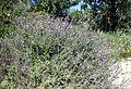 Salvia fruticosa kz7.jpg