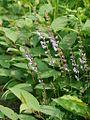 Salvia japonica akinotamurasu01.jpg