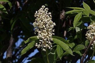 Sambucus racemosa - Image: Sambucus racemosa 6269