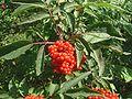 Sambucus racemosa jfg.jpg