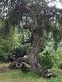 San Francisco Golden Gate Park tree running (4583550662).jpg