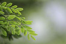 Meerrettichbaum Wikipedia