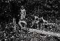 Sarawak; four Kayan natives collecting gutta percha from a t Wellcome V0037406.jpg