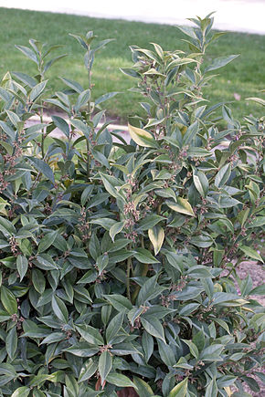 Description de l'image Sarcococca orientalis.jpg.