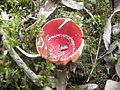 Sarcoscypha Coccinea .R.H. 22.jpg