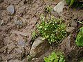 Saxifraga melanocentra (syn. Saxifraga pseudopallida) (7855278916).jpg
