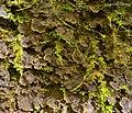 Scaly Dog Lichen (4501602901).jpg