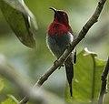Scarlet ( Javan ) Sunbird - Carita MG 3470 (29363983070) (cropped).jpg