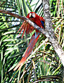 Scarlet Macaw (7046746559).jpg