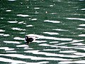 Scaup on lake poway.jpg