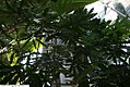 Schefflera elegantissima 7zz.jpg